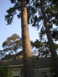 Pines20050922