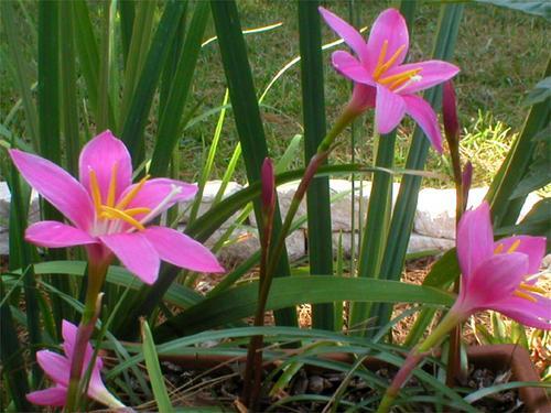 Zephyranthes spp. (Rain lilies)